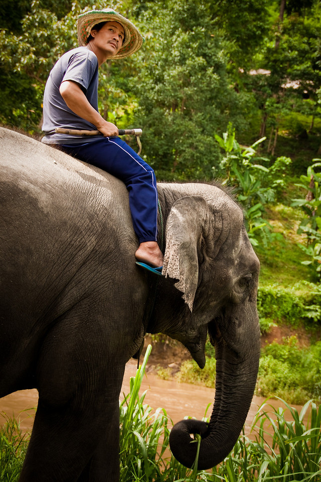 A mahout riding an elephant in Mae Tang park north of Chiang Mai in Thailand.
