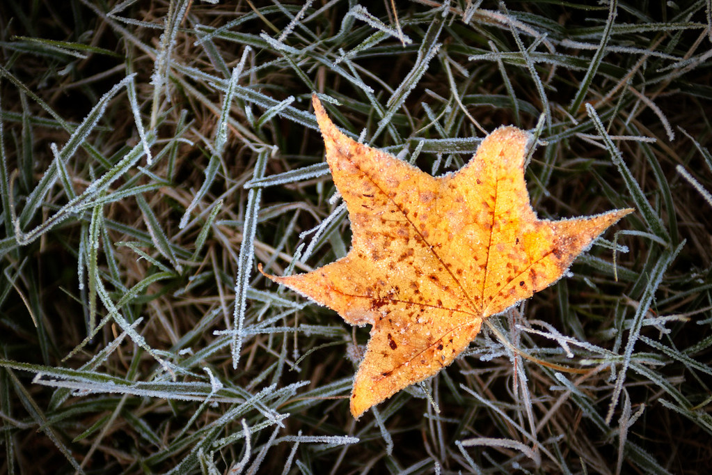 A maple leaf on the frosty grass during Fall in Kentucky, USA.
