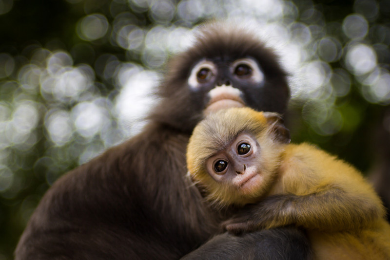 Dusky Leaf Monkeys or Spectacled Langur Monkeys are gentle primates found in South of Thailand.