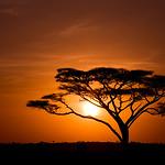 Acacia Tree against sunrise in Tanzania