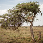 Cheetah on a tree - Tanzania